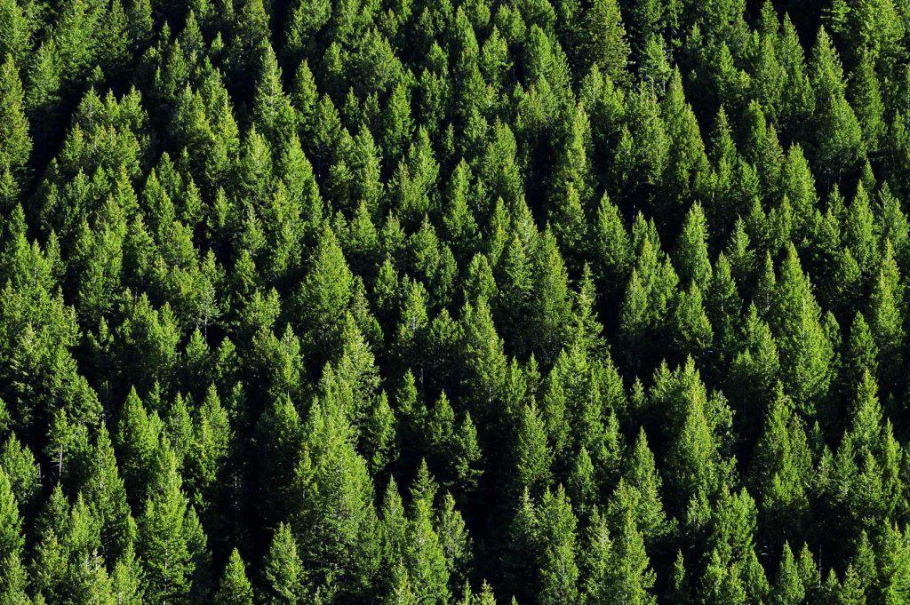 Foresta di conifere